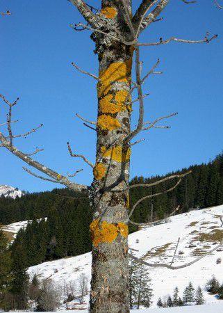 Altholz bei Jungholz