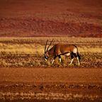 Oryxantilope inmitten der Wüste