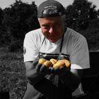 Sommerliche Kartoffelernte