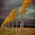 Goldene Blätter im Wind