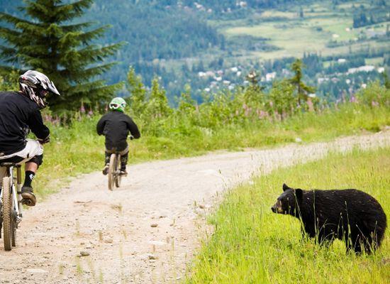 Mountainbiker und Schwarzbär, Whistler Mountain