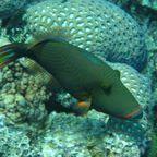 Fernweh Trigger Fish