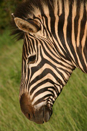Zebra(streifen)