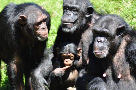 Schimpansen Gruppe mit Jungem
