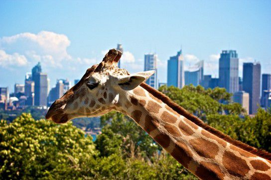 Giraffe im Taronga Zoo in Sydney