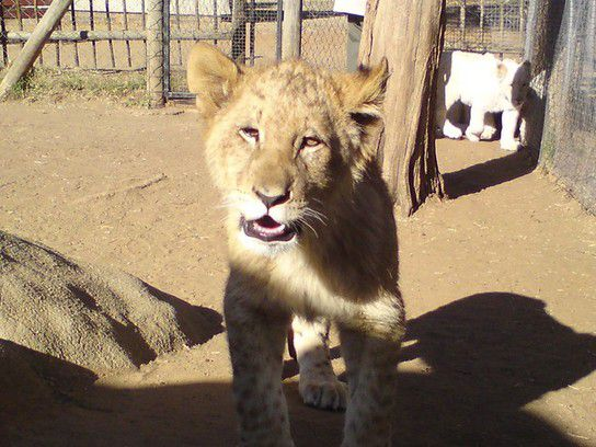 Babylöwe im Lion Park