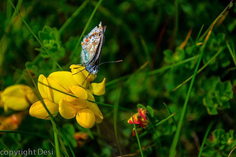 Schmetterling an der Küste Irlands