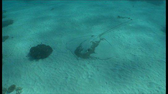 Stachelrochen im Ningaloo Reef