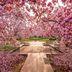 Kirschblüte in Washington