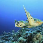 Wasserschildkröte im roten Meer