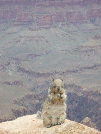 Squirrel vor dem Grand Canyon