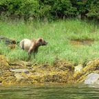 Grizzly im Khutzeymateen-Bärenschutzgebiet