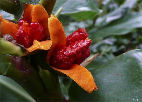 Samen der Gingerlily