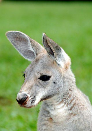 Kängurubaby