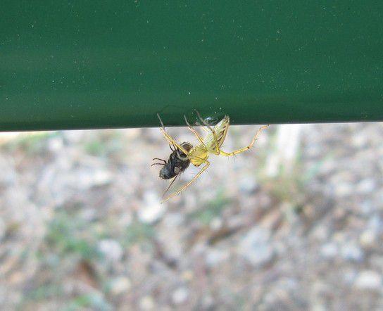 Eine Spinne fängt eine Fliege in Katherine/Australien