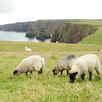 Schafe weiden an der Küste
