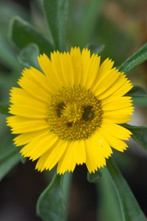 Smilie-Blume