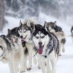 Mit Hundestärken durch Schwedens Winterlandschaft