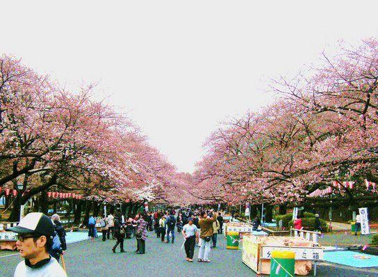Kirschblüten Fest