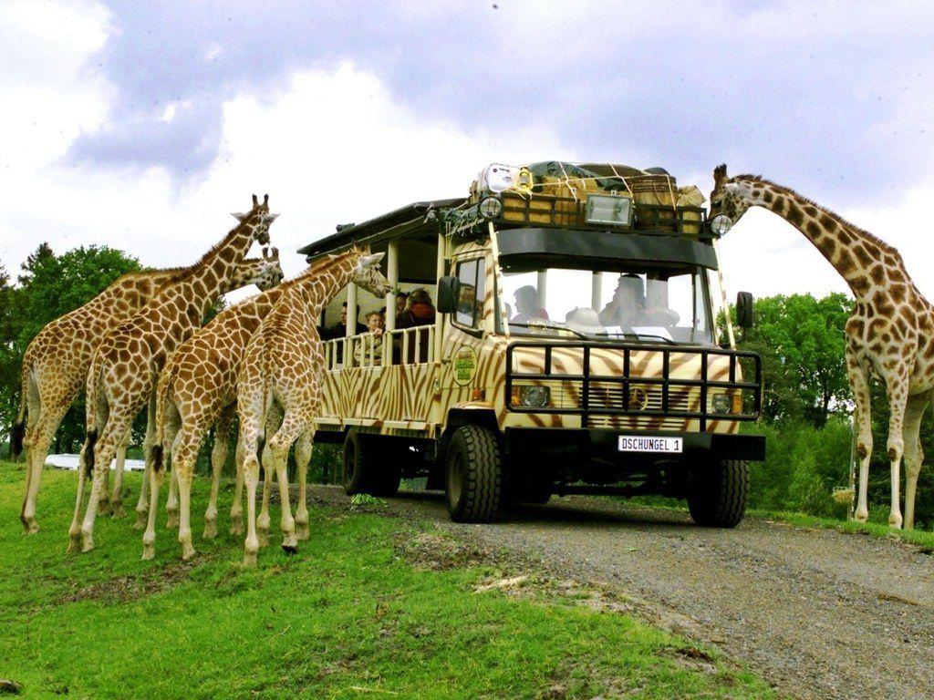 Serengeti-Park: Giraffen um Dschungeljeep