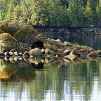 Die Bären von Vancouver Island