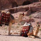 Zwei Dromedare in Petra