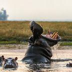 Nilpferd/Afrika