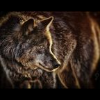 Canis Lupus / Wolf