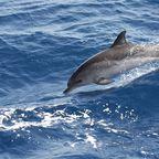 Springender Delphin im Atlantik