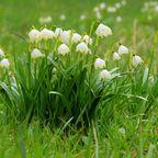 Blütenduft schnuppern auf den Märzenbecherwiesen im Polenztal