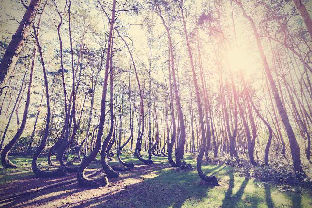 Der schiefe Wald in Polen