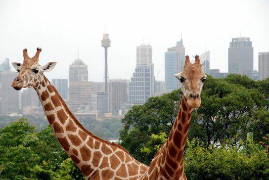Giraffen in Sydney