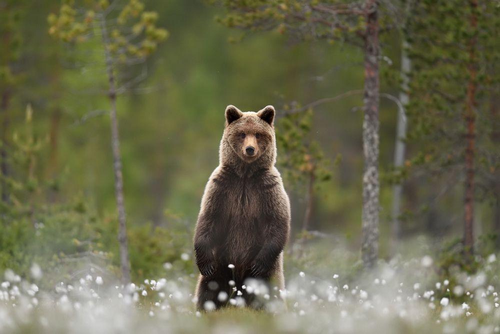 Grizzly-Bär/Nordamerika