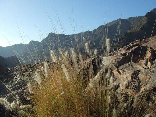 Gräser auf Gran Canaria