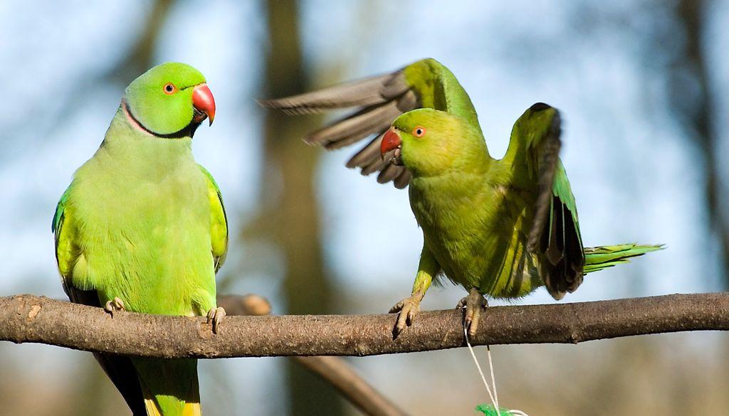 Frecher Exot: Der Halsbandsittich nistet sich gerne in fremde Nester ein.