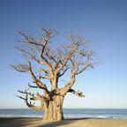 Affenbrotbaum im Sine-Saloum-Delta