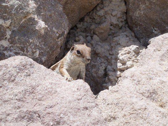 Neugieriges Streifenhörnchen