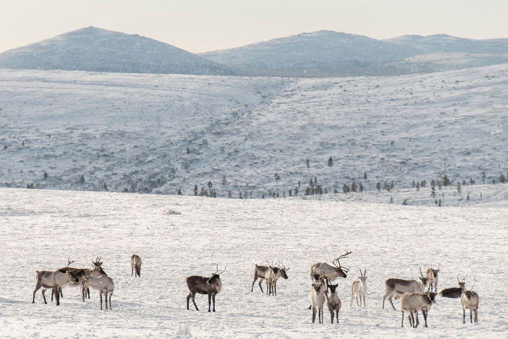 Wandern durch verschneite Landschaften im Urho-Kekkonen Nationalpark