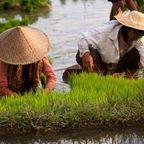 Arbeiten im Reisfeld