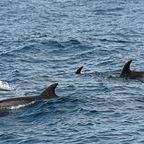Delfine und Wale beobachten