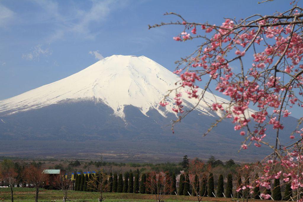 Kirschblüten mit Ausblick auf den Fuji