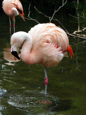 Stuttgart Killesberg Flamingo