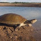 Flussschildkröte am Orinoco