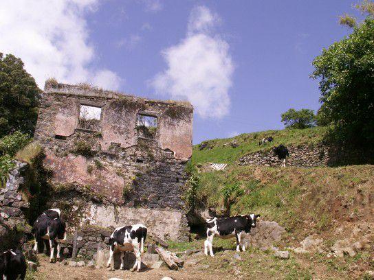 Kühe und Ruinen