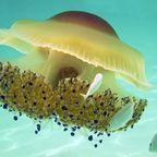 Qualle im Mittelmeer