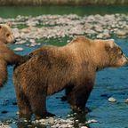Bärenjunge mit Grizzlymama