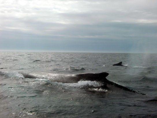 Wale - faszinierende Meeresbewohner
