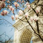Bluehender Magnolienbaum am Washington Square