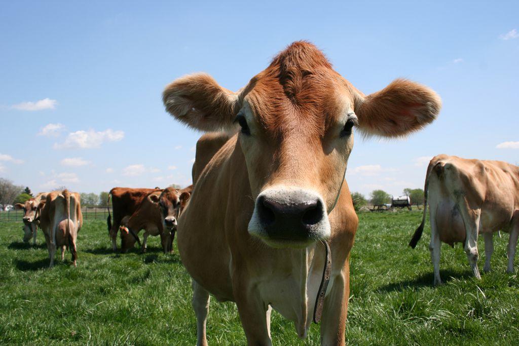 Eine der ältesten Rinderrassen grast in Jersey
