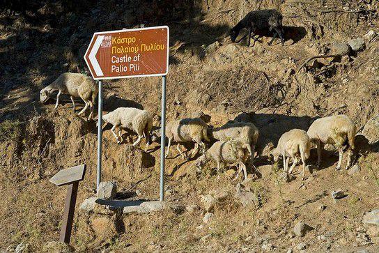 Schafe unterwegs